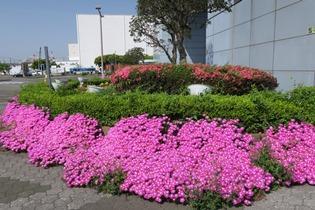 写真:交流棟花壇のマツバキク