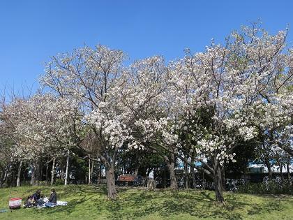 写真/桜とBBQ2019_2