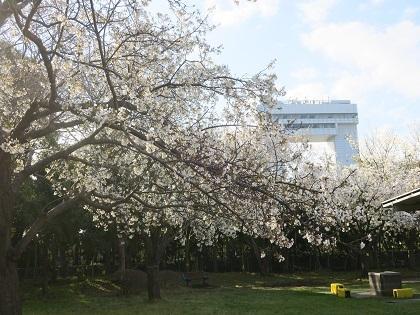 写真/桜満開20210323②