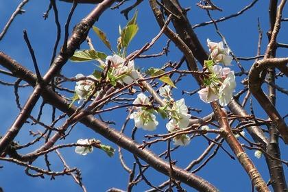 写真:冬桜